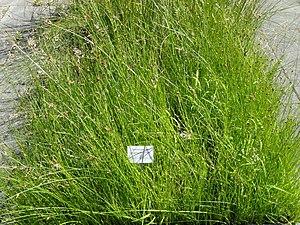 Schoenoplectus pungens - Image: Schoenoplectus pungens Botanical Garden, University of Frankfurt DSC02704