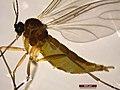 Sciaridae sp. (39288012525).jpg