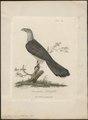 Scythrops novae hollandiae - 1789 - Print - Iconographia Zoologica - Special Collections University of Amsterdam - UBA01 IZ18800321.tif