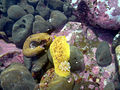 Sea lemon in tide pools.jpg
