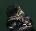 Sea otter with shells 1.jpg