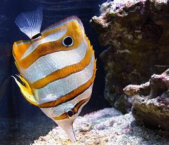 Butterflyfish - Image: Seattle Aquarium, 1