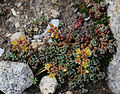 Sedum obtusatum below Conness Lakes.jpg