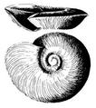 Segmentorbis kanisaensis shell.png
