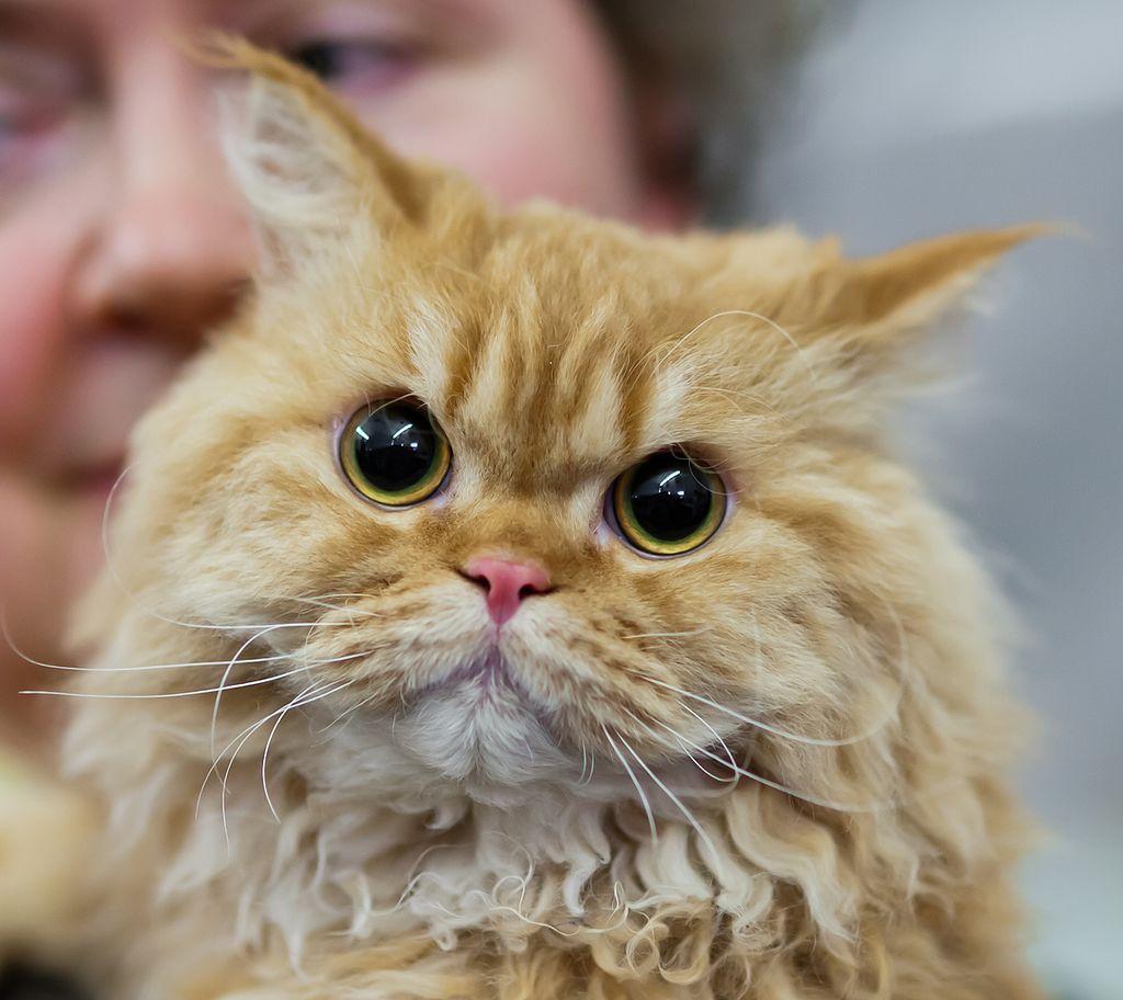 Selkirk rex longhair FINTICAt cat show Helsinki 2013-11-25