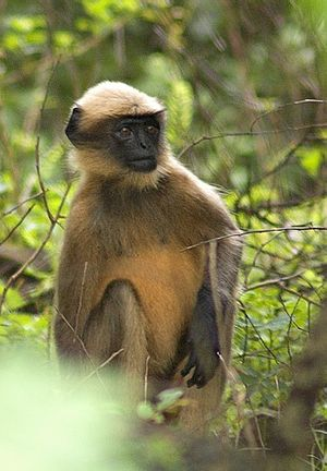 Old World monkey - Black-footed gray langur, Semnopithecus hypoleucos
