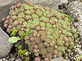 Sempervivum montanum0.jpg