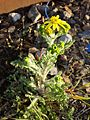 Senecio vernalis sl18.jpg