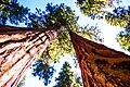Sequoias (24331146995).jpg