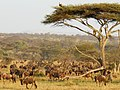 Serengeti 25 (14698263144).jpg