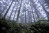 Shennongjia virgin forest.jpg