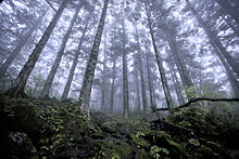 Virgin Forest About 2500 M Above Sea Level In Shennongjia Forestry District Hubei China