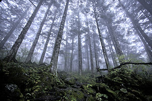 Daba Mountains evergreen forests - Evergreen coniferous forest in Shennongjia