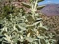 Shepherdia rotundifolia (8003258721).jpg
