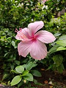 Shoeblackplant (Light Pink Hibiscus).jpg