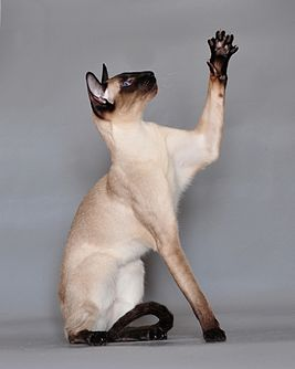 Siamese cat Vaillante.JPG