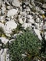 Silene uniflora ssp prostrata RHu 01.JPG
