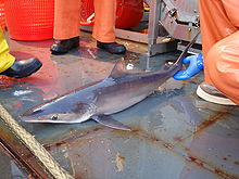 A shark, smaller than the adults previously shown, but otherwise similar, lying on the deck of a ship