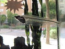 Siluro de cristal - Glass Catfish (14059368040).jpg