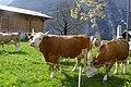 Simmentaler Kühe auf Weide.JPG
