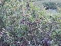 Sloe - fruit of blackthorn - Porth Mear - geograph.org.uk - 224569.jpg