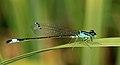 Small Blue Damselfly (3871185752).jpg