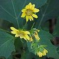 Smallanthus uvedalius capitulescence.jpg
