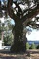 Sobreiro do Largo da Igreja - Parada de Todeia, Paredes - 19.jpg