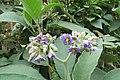 Solanum mauritianum - Wild tobacco tree - at Ooty 2014 (3).jpg