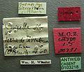 Solenopsis nigella casent0103218 label 1.jpg