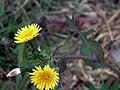 Sonchus oleraceus Enfoque SierraMadrona.jpg