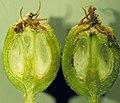 Sorbus scopulina (5087438059).jpg
