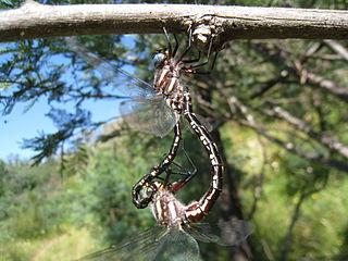 <i>Notoaeschna sagittata</i> Species of dragonfly