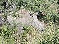 Southern White Rhino at Hluhluwe–Imfolozi Park, KwaZulu-Natal, South Africa (16 July 2018), partial view behind brush.jpg