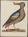 Spatula clypeata - 1700-1880 - Print - Iconographia Zoologica - Special Collections University of Amsterdam - UBA01 IZ17600479.tif
