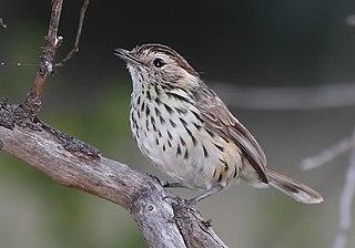 Speckled warbler species of bird