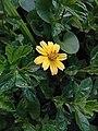 Sphagneticola trilobata ( Asteraceae) 02.jpg