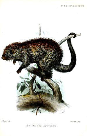 Paraguaian hairy dwarf porcupine