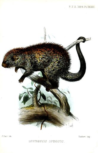 Paraguaian hairy dwarf porcupine - Image: Sphingurus Spinosus Smit