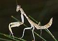 Sphodropoda tristis (14338786850).jpg
