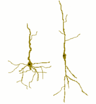Spindle neuron - Cartoon of a spindle cell (right) compared to a normal pyramidal cell (left).