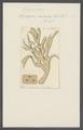 Spongia palmata - - Print - Iconographia Zoologica - Special Collections University of Amsterdam - UBAINV0274 112 05 0012.tif
