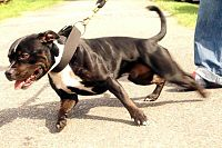Image Result For Staffy Dog Training