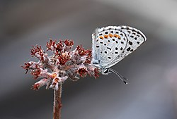 Square-Spotted Blue (Euphilotes battoides).jpg