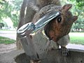 Squirrel at Fountain 1 - Flickr - brownpau.jpg