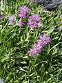 Stachys lavandulifolia Czyściec lawendolistny 2015 01.jpg