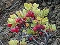 Starr-011003-0146-Vaccinium reticulatum-fruit-Holua HNP-Maui (24516461246).jpg