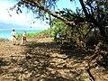 Starr-050302-4796-Schinus terebinthifolius-restoration area-Kanaha Beach-Maui (24372077919).jpg