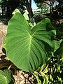 Starr-050303-4804-Colocasia esculenta-habit-Maui Nui Botanical Garden-Maui (24112896263).jpg