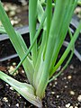 Starr-070906-8816-Allium schoenoprasum-chives leaves-Kula Ace Hardware and Nursery-Maui (24892066915).jpg